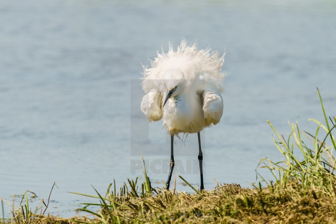 """Little Egret (Egretta garzetta) next to a lake all fluffed up, taken in the UK"" stock image"