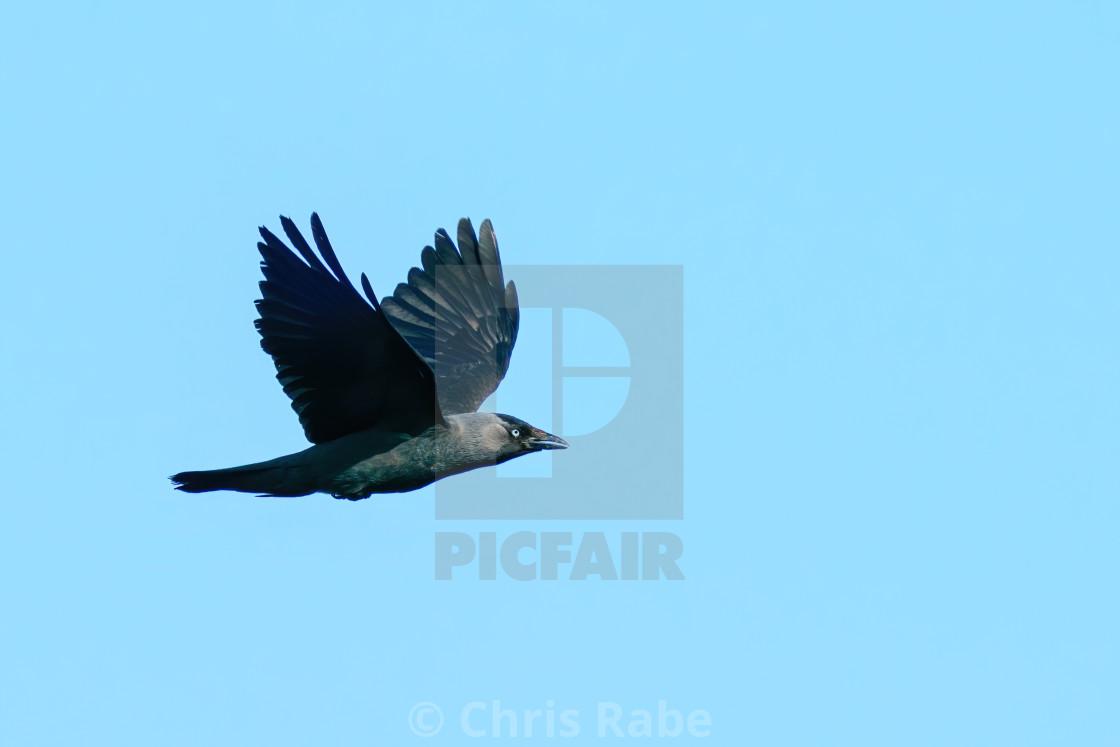 """Jackdaw (Corvus monedula) in flight against blue sky, taken in London"" stock image"