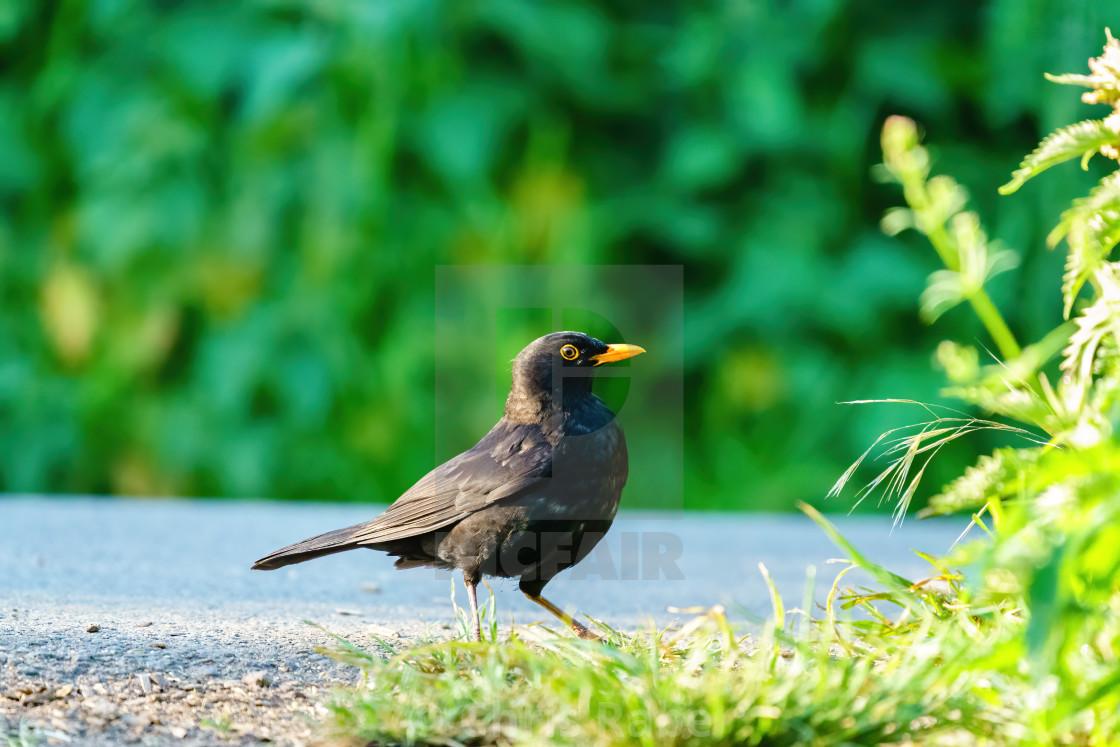 """""""Blackbird (Turdus merula) searching near side of a path for food, taken in..."""" stock image"""