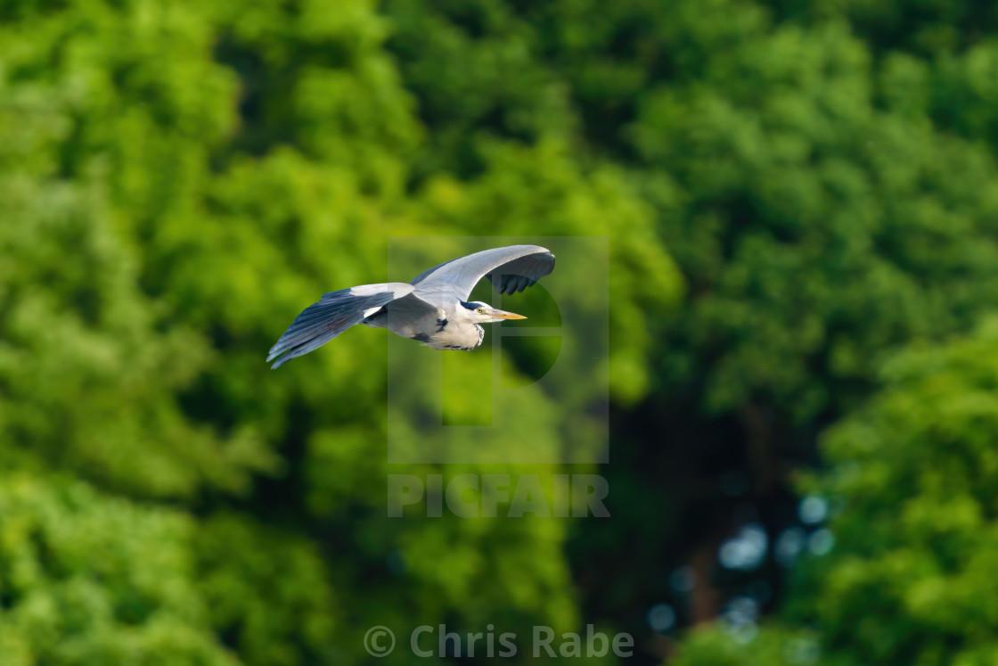 """Grey Heron (Ardea cinerea) in flight, taken in London, England"" stock image"