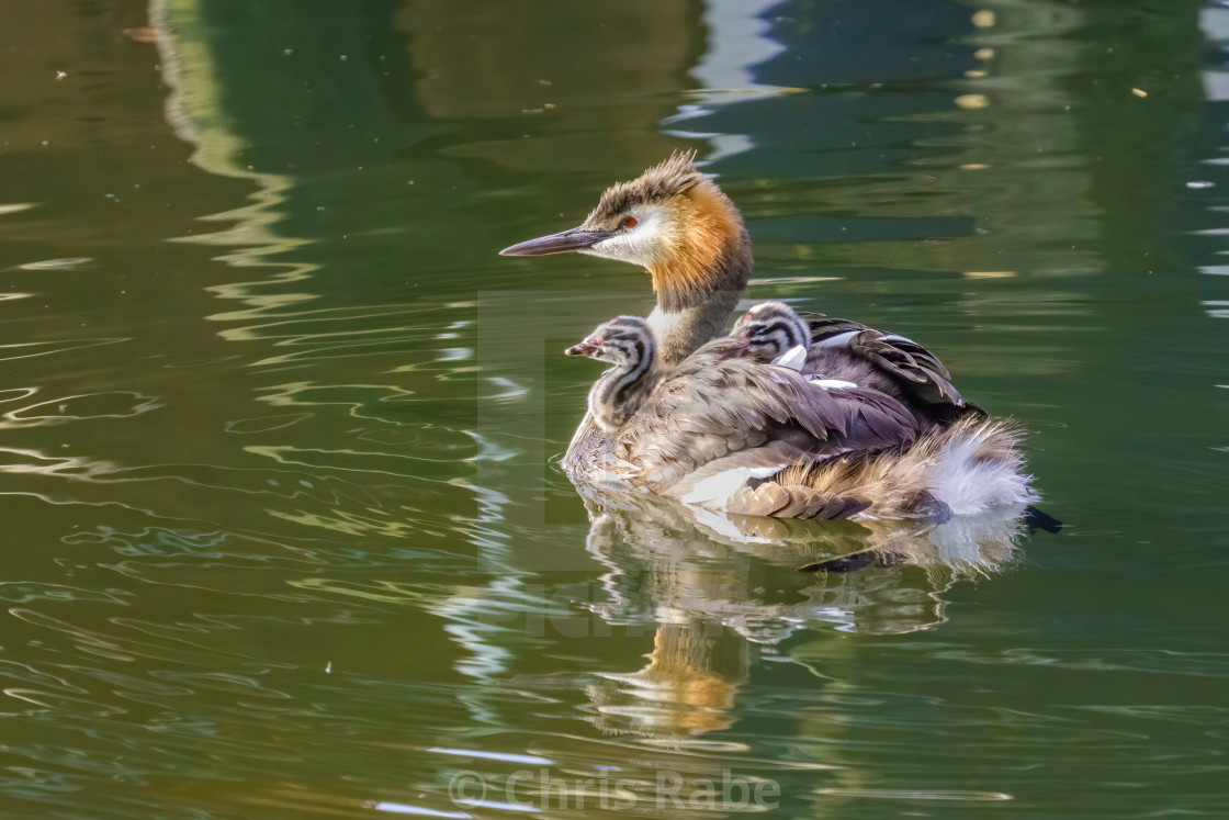 """Great Crested Grebe (Podiceps cristatus) carrying it's chicks on it's back,..."" stock image"