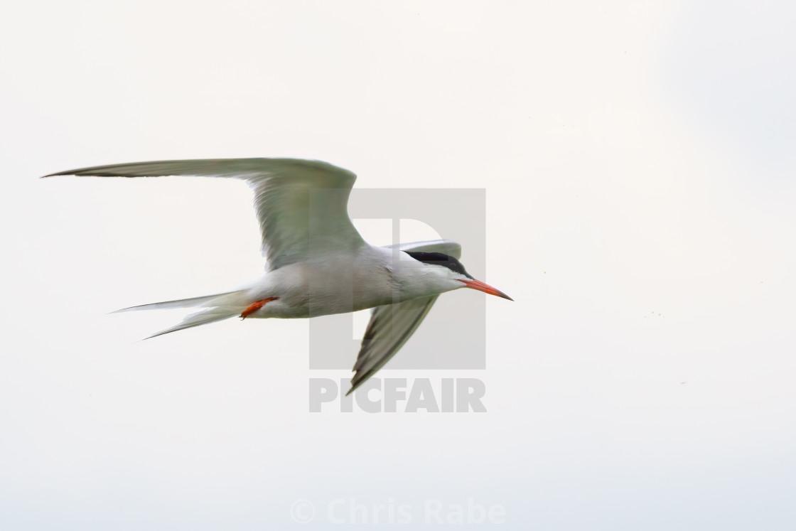 """Common Tern (Sterna hirundo) in flight from the side, London, UK"" stock image"