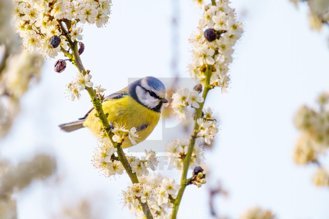 """Blue Tit (Cyanistes caeruleus) sitting among fresh spring blossom, taken in..."" stock image"