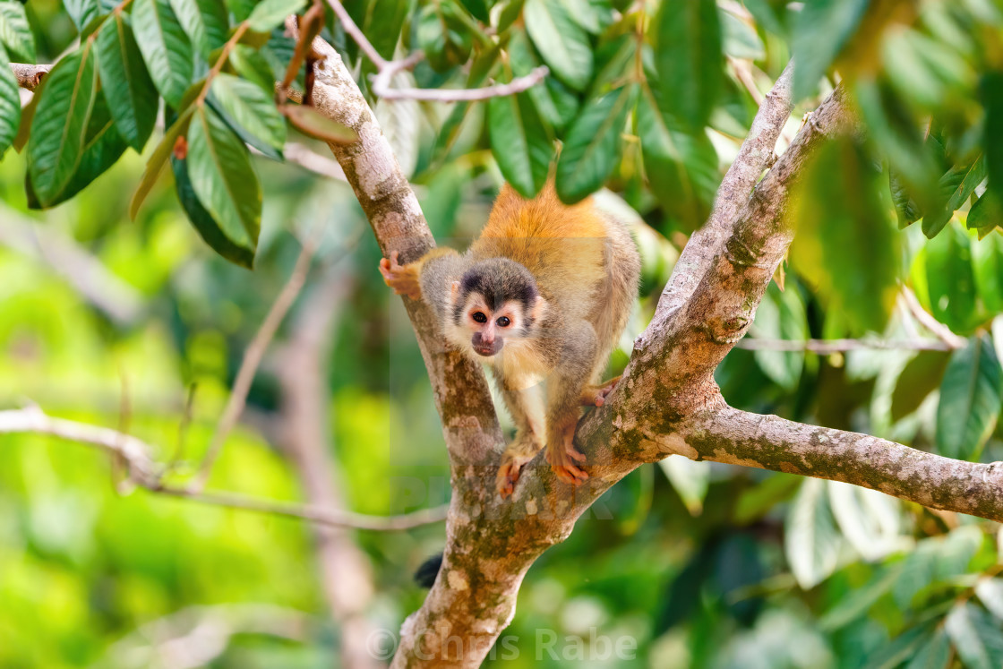 """Common Squirrel Monkey (Saimiri sciureus) looking up to camera, Costa Rica"" stock image"