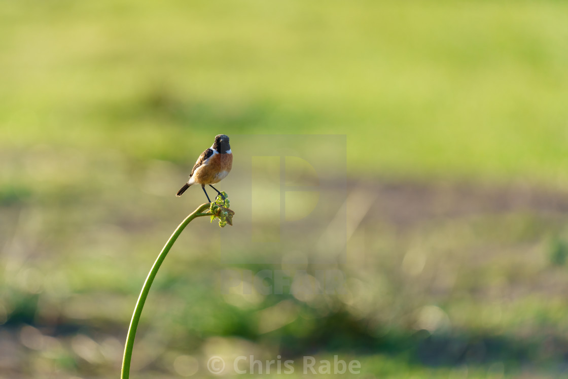 """Stonechat (Saxicola torquata) male perched on the end of some bracken, taken..."" stock image"