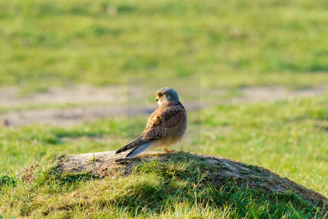 """Common Kestrel (Falco tinnunculus) male standing on mound of earth in early..."" stock image"