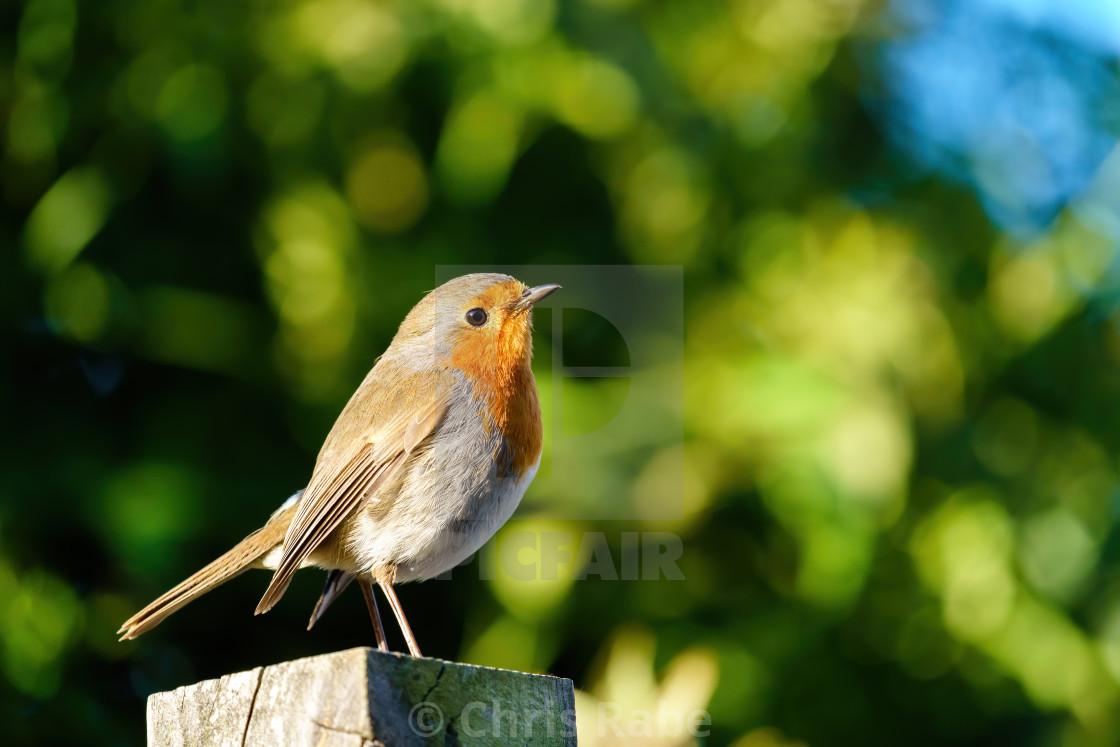 """European Robin (Erithacus rubecula) portrait, standing on fence post, taken..."" stock image"