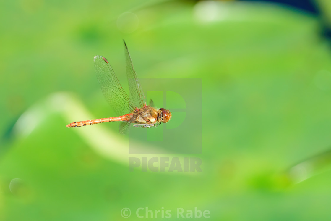 """""""Common darter (Sympetrum striolatum) in flight over lily leaves in a pond,..."""" stock image"""