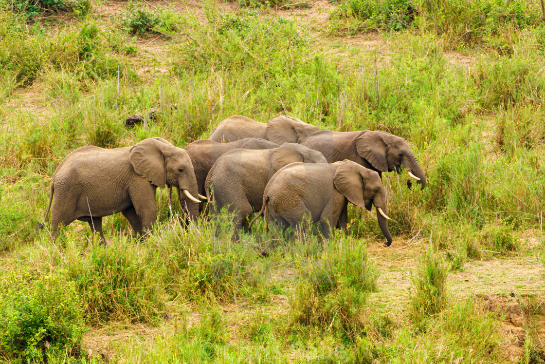 """""""Small herd of African Elephant (Loxodonta africana) moving through green..."""" stock image"""