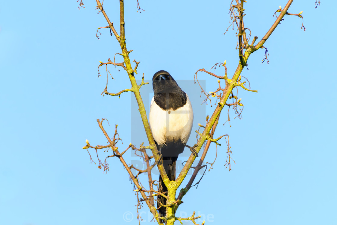 """""""Eurasian Magpie (Pica pica) perched between a forked branch, taken in London"""" stock image"""