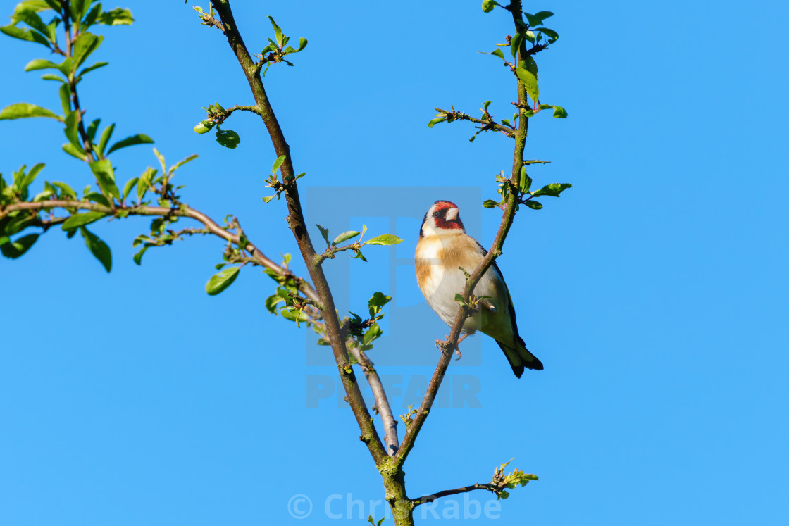 """""""European Goldfinch (Carduelis carduelis) perched in a tree in early morning..."""" stock image"""