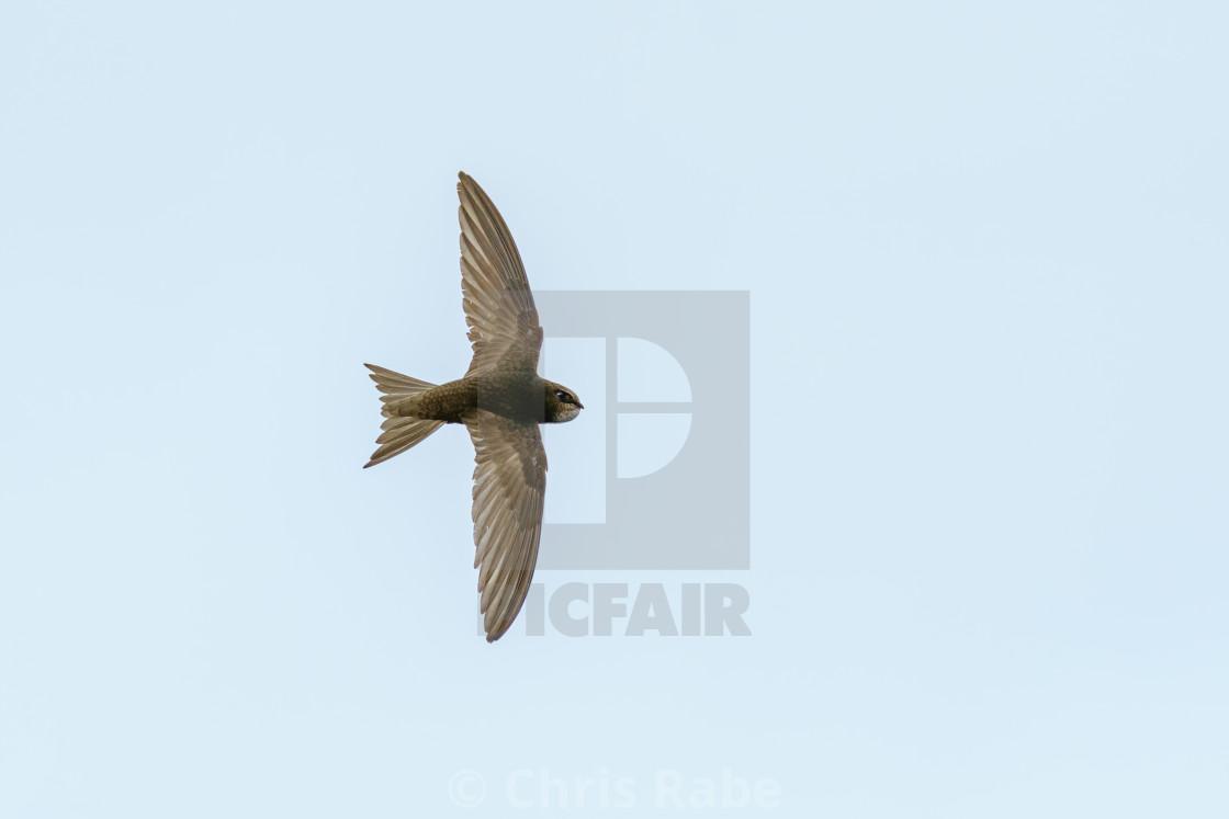 """""""swift (Apus apus) in flight, taken in the UK"""" stock image"""