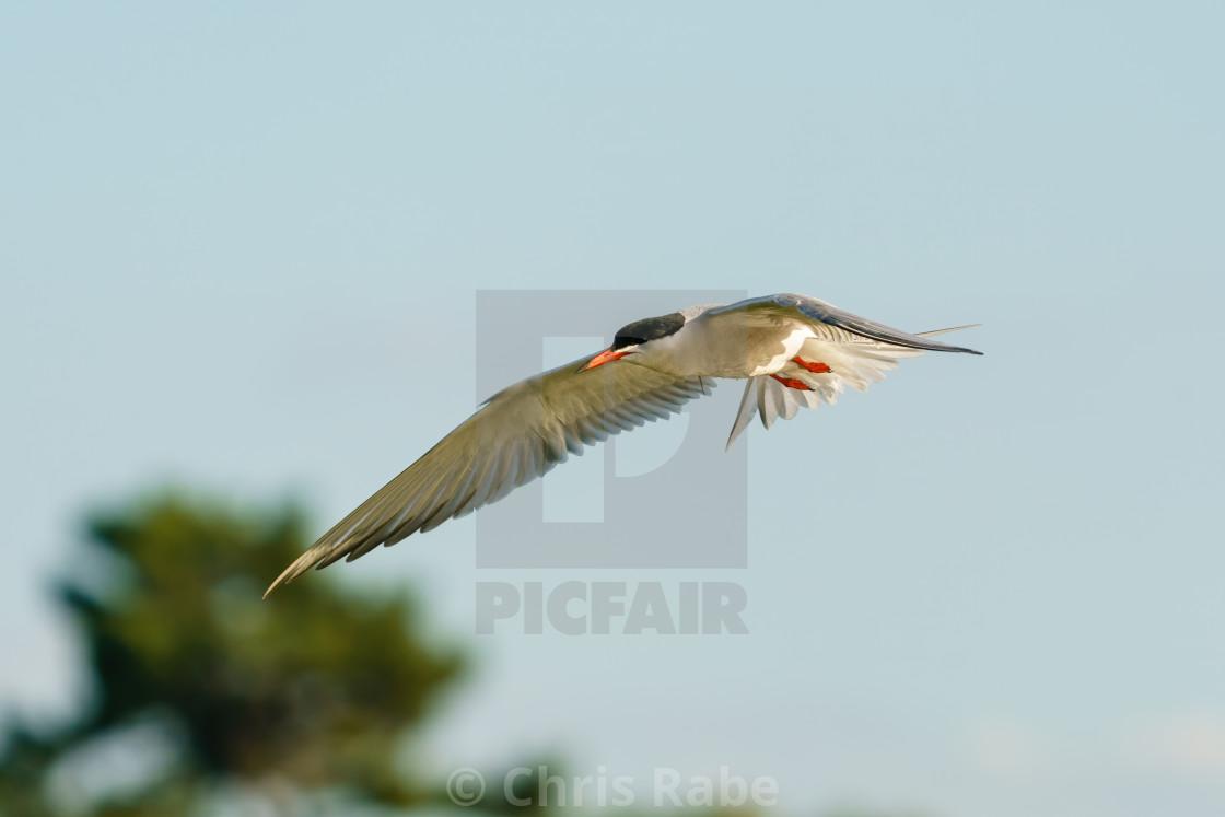 """Common Tern (Sterna hirundo) in flight, taken in Bushy Park, London"" stock image"