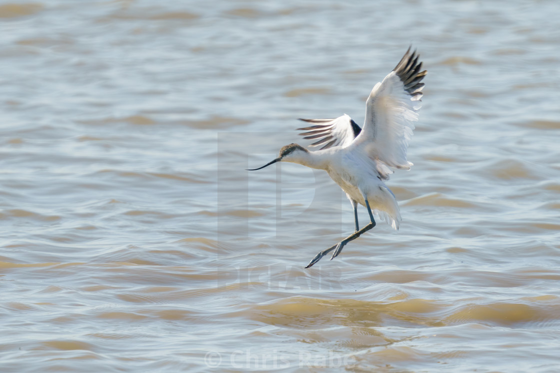 """""""Pied Avocet (Recurvirostra avosetta) about to land on the Thames river, England"""" stock image"""