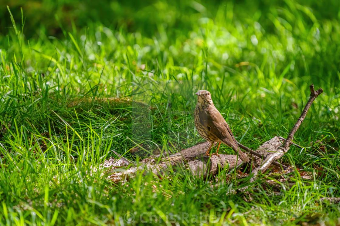 """Mistle Thrush (Turdus viscivorus) looking back over it's shoulder, perched on..."" stock image"