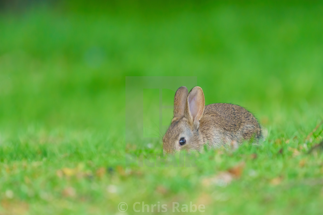 """""""European Rabbit (Oryctolagus cuniculus) scouring the ground for food, taken..."""" stock image"""