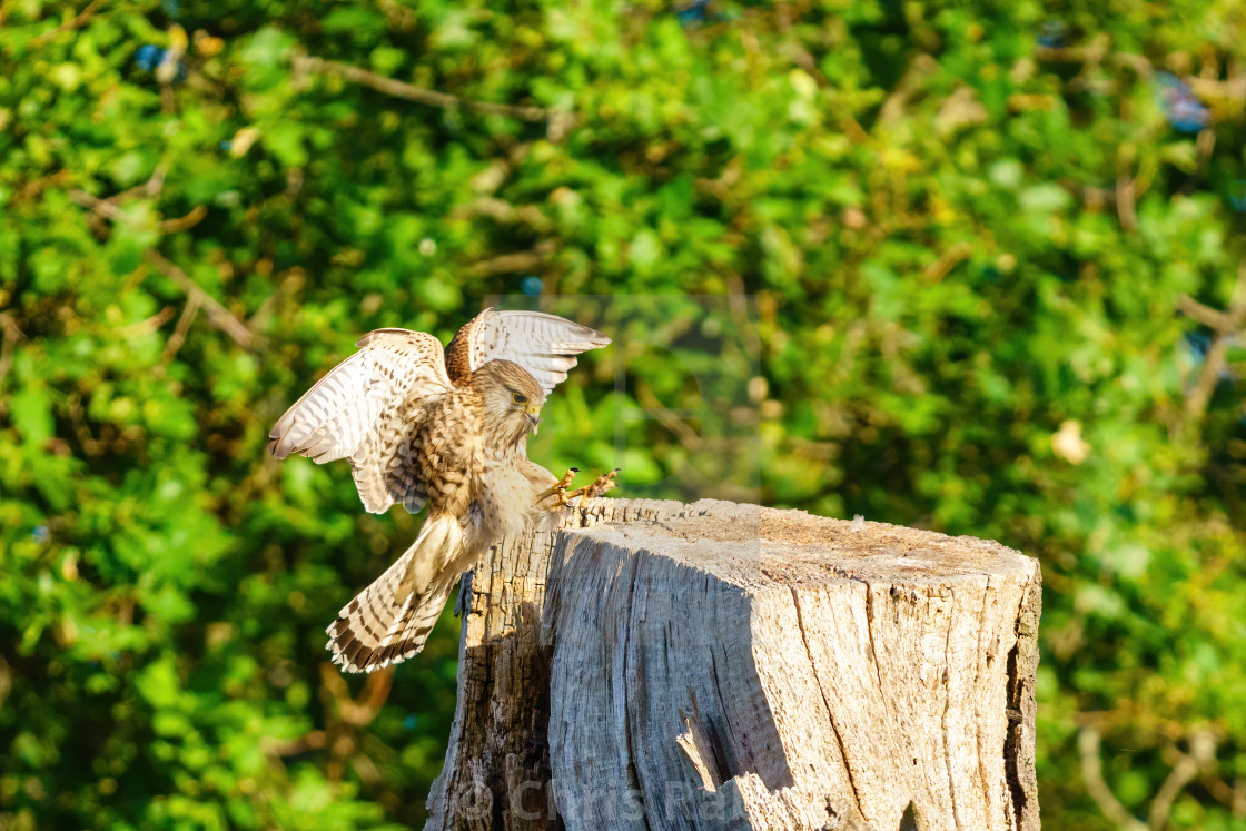 """Common Kestrel (Falco tinnunculus) female about to land on top of a tree,..."" stock image"