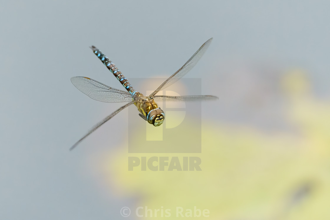 """Migrant hawker (Aeshna mixta) in flight over a pond, taken in the UK"" stock image"