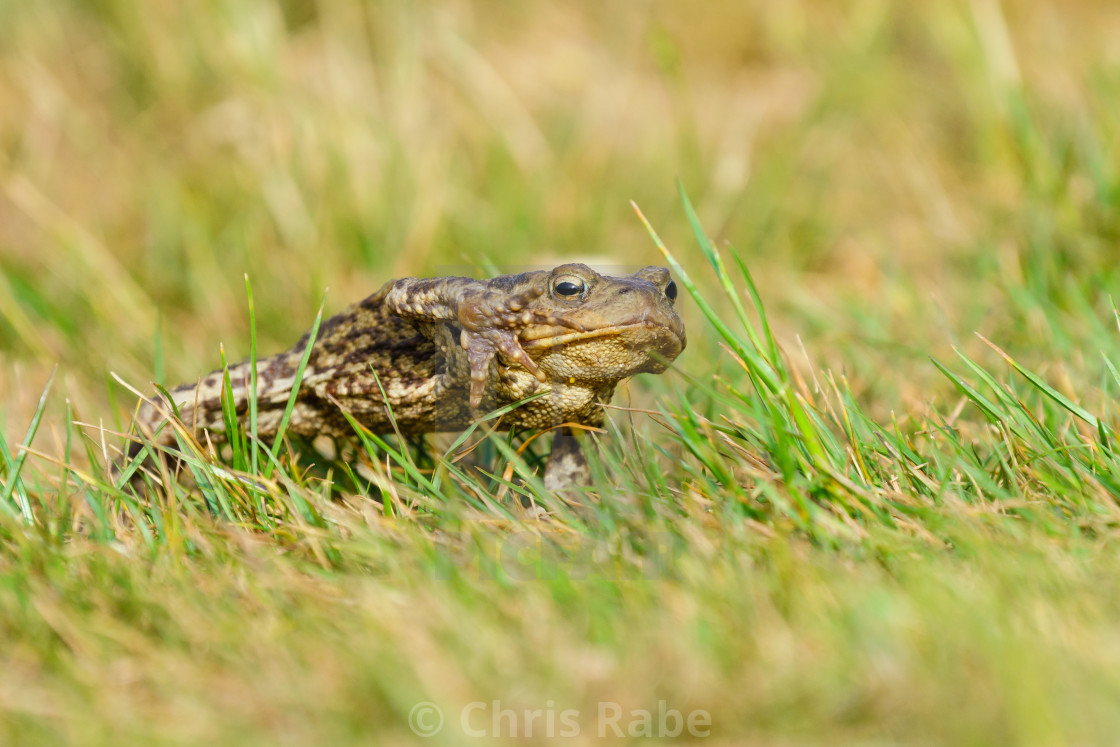 """Common Toad (Bufo bufo) with it's foot up mid stride while walking, taken in..."" stock image"