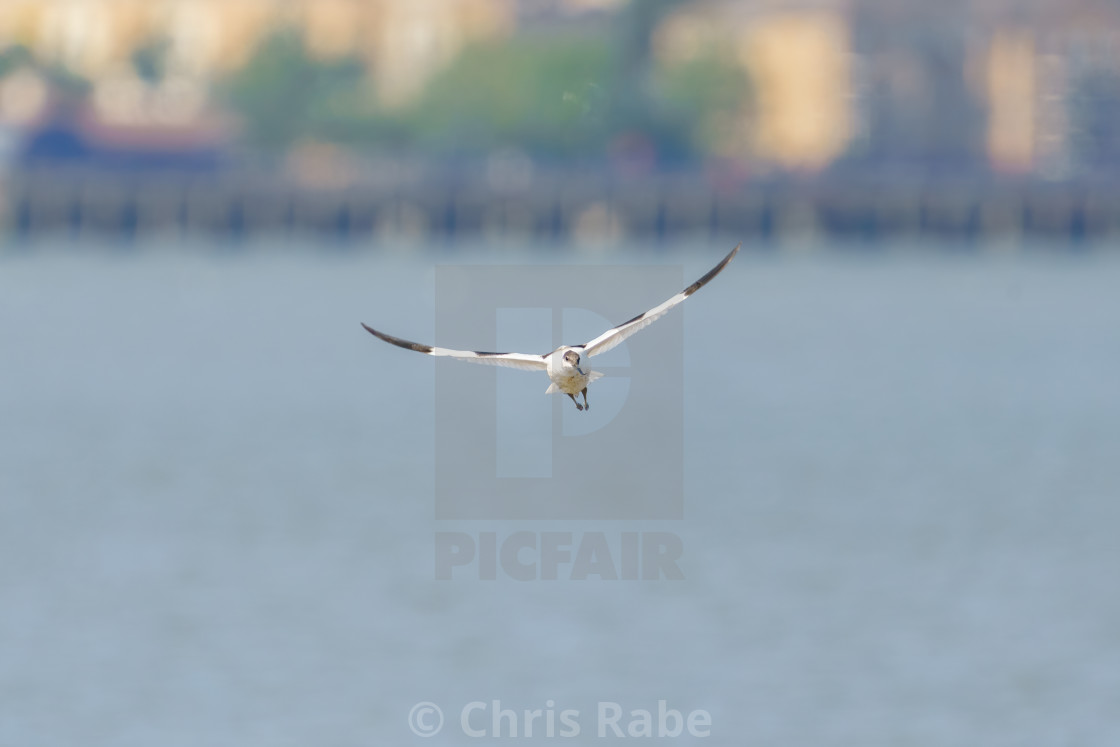 """Pied Avocet (Recurvirostra avosetta) in flight over the Thames, taken in England"" stock image"