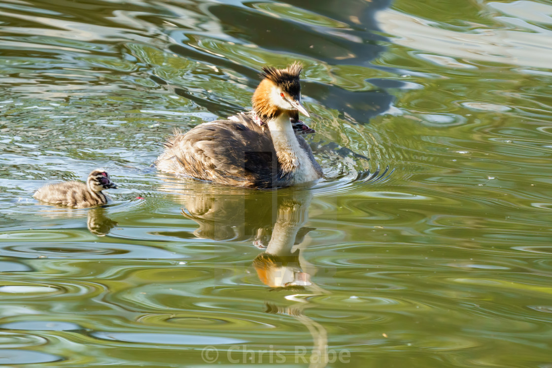 """Great Crested Grebe (Podiceps cristatus) followed by it's chick on the..."" stock image"