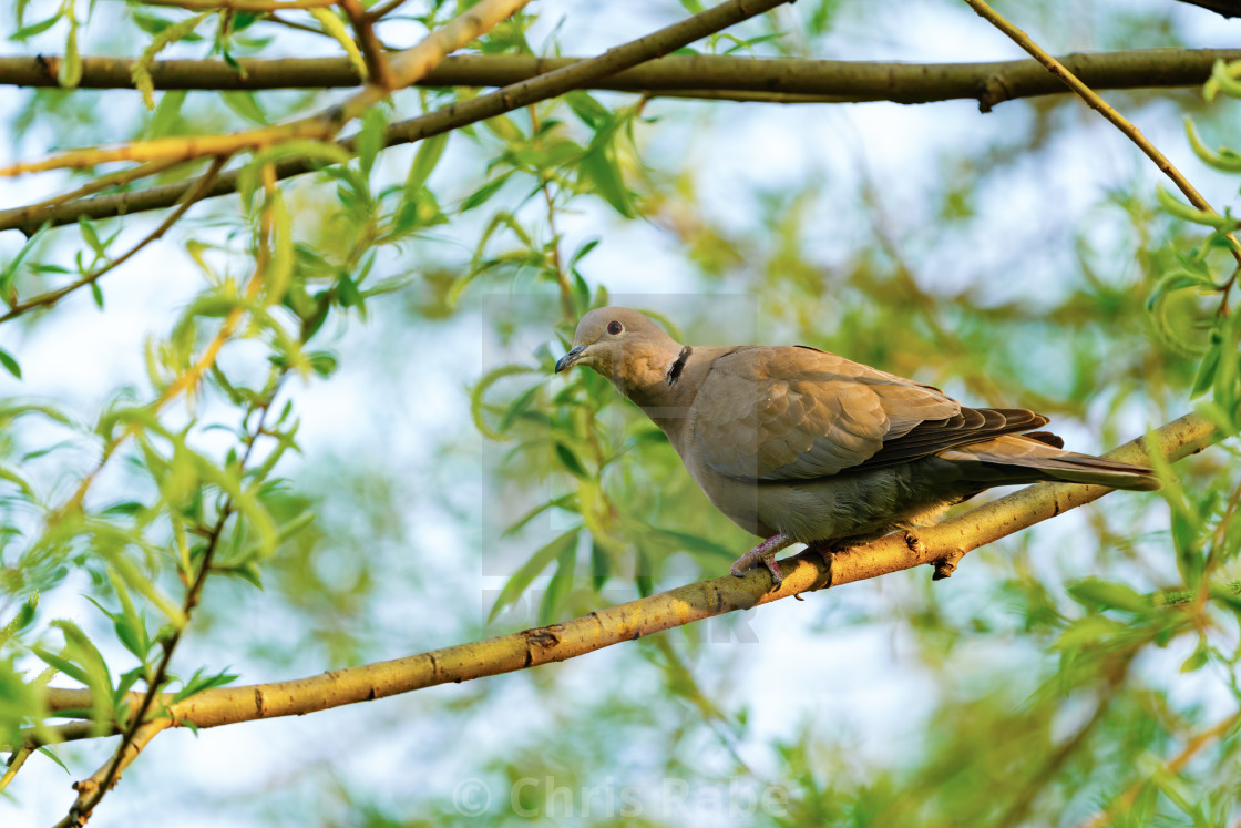 """Collared dove (Streptopelia decaocto) in golden morning light, taken in..."" stock image"