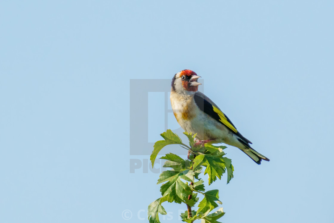 """Singing European Goldfinch (Carduelis carduelis) perched at the rop of a..."" stock image"