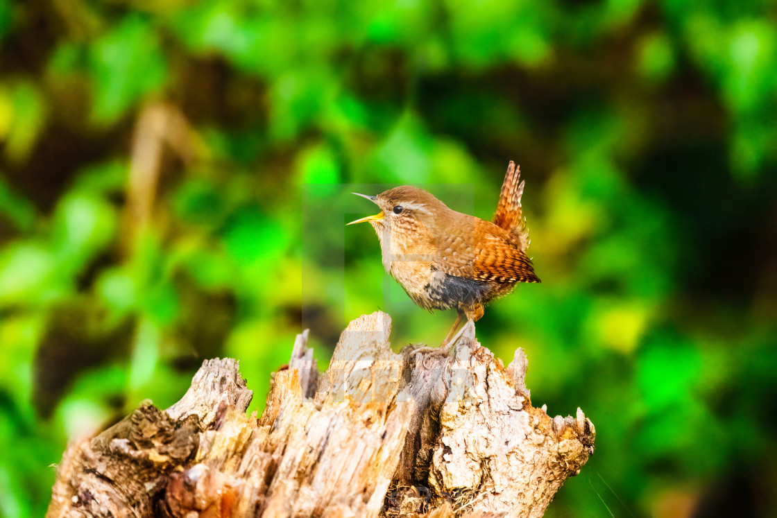 """Wren (Troglodytes troglodytes) perched on tree stump singing, taken in the UK"" stock image"