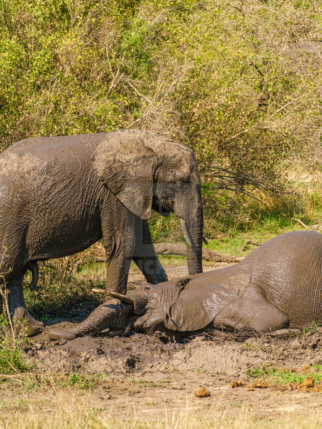 """Two African Elephant (Loxodonta africana) playing around in a mud bath, taken..."" stock image"