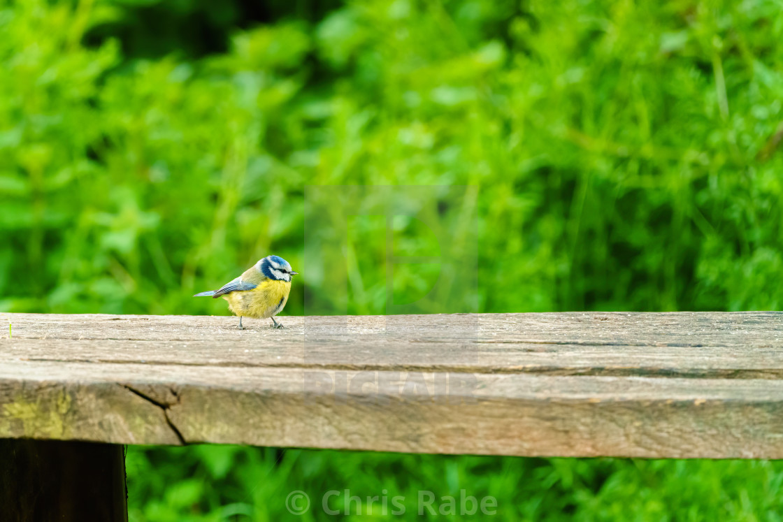 """Blue Tit (Cyanistes caeruleus) on a wooden branch, taken in London"" stock image"