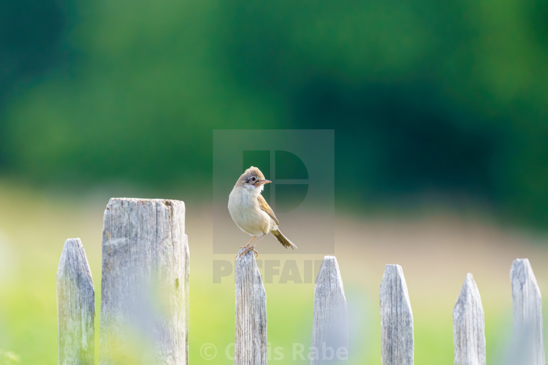 """Common Whitethroat (Sylvia communis) male on a fence looking back over it's..."" stock image"