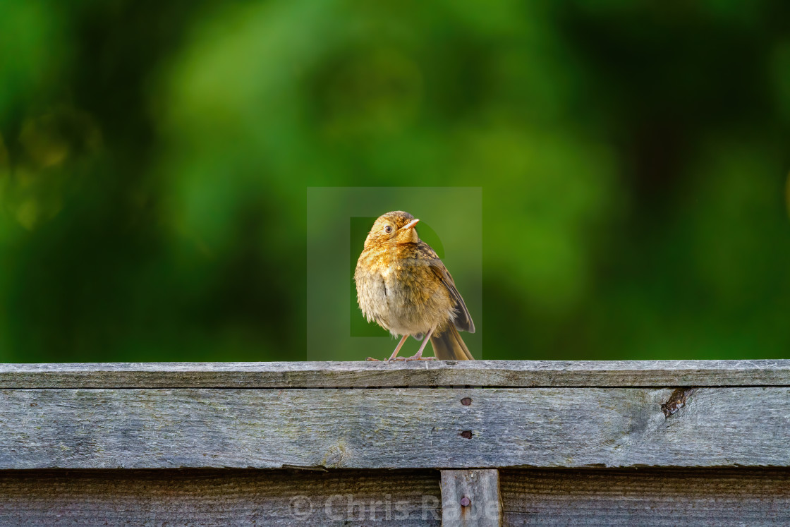 """European Robin (Erithacus rubecula) juvenile parched on wooden fence, taken..."" stock image"