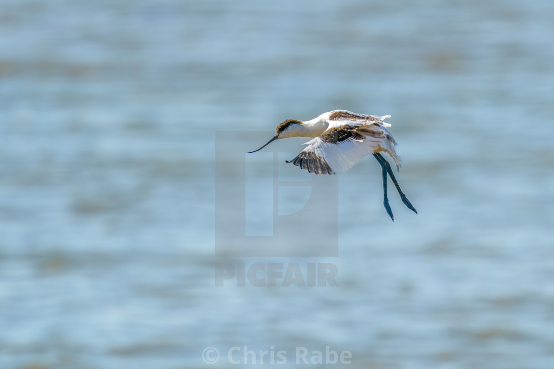 """Pied Avocet (Recurvirostra avosetta) in flight with it's legs down for..."" stock image"