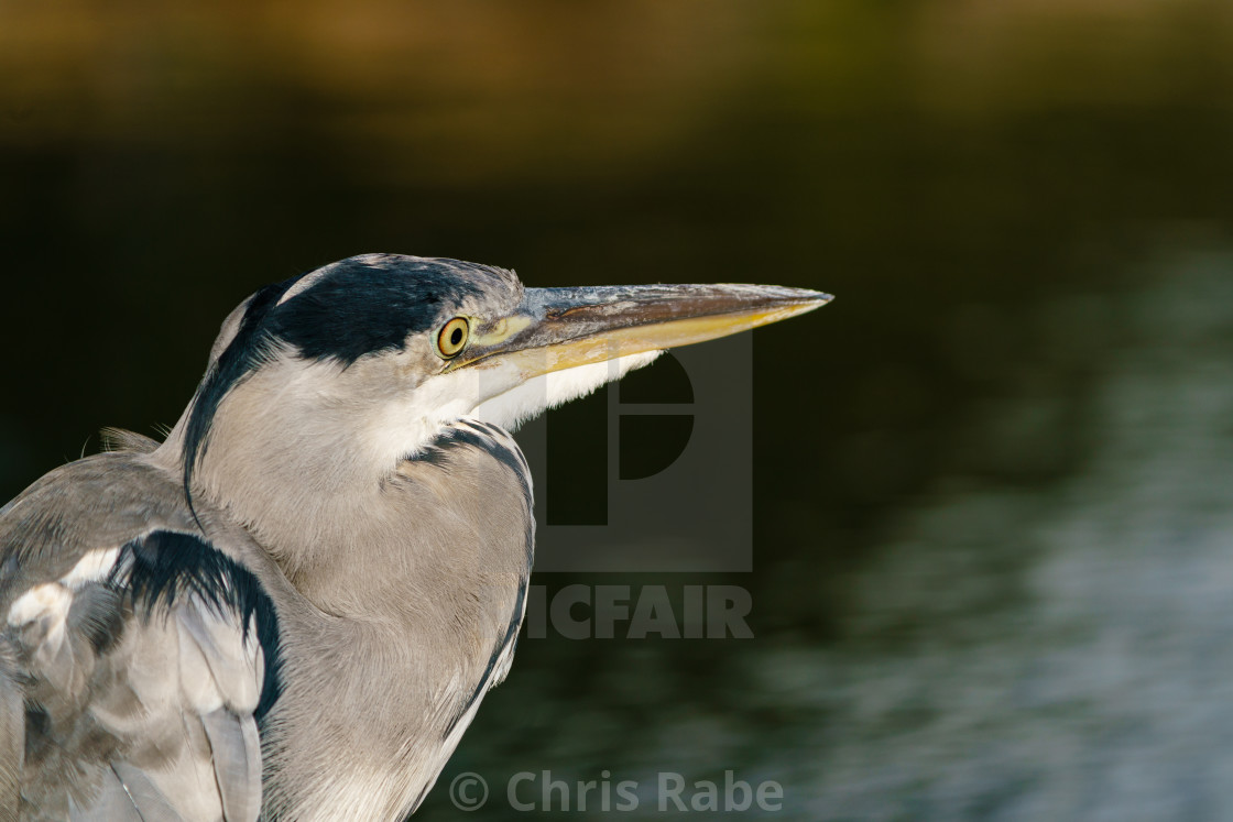 """Grey Heron (Ardea cinerea) portrait looking out over a lake, taken in West..."" stock image"