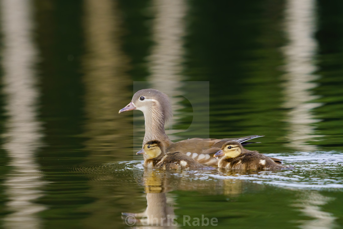 """""""Mandarin Duck (Aix galericulata) female with a couple of ducklings on the..."""" stock image"""