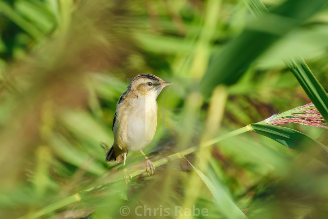 """Sedge Warbler (Acrocephalus schoenobaenus) perched on a reed on a summer day,..."" stock image"