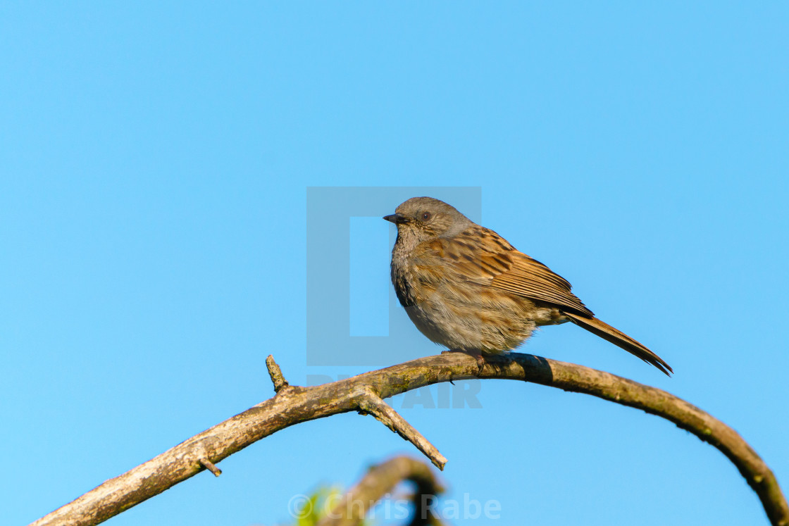 """Dunnock (Prunella modularis) perched on a branch against blue sky, taken in..."" stock image"