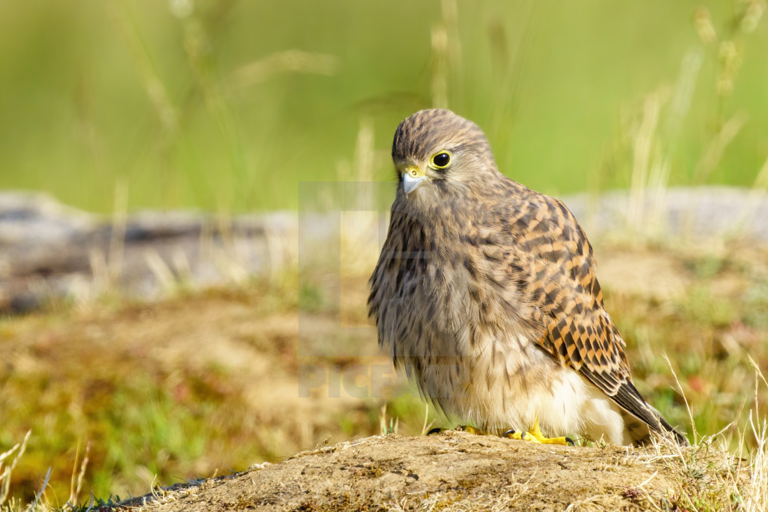 """Common Kestrel (Falco Tinnunculus) juvenile investigating area near it's nest..."" stock image"