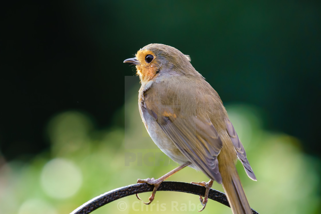 """European Robin (Erithacus rubecula) perche don a metal rod, taken in summer..."" stock image"