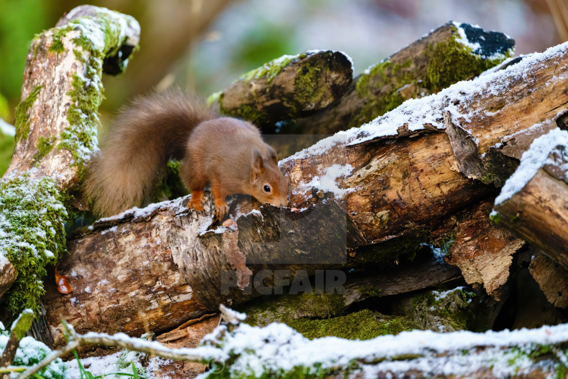 """red squirrel (Sciurus vulgaris) searching a log for food, taken in Scotland"" stock image"