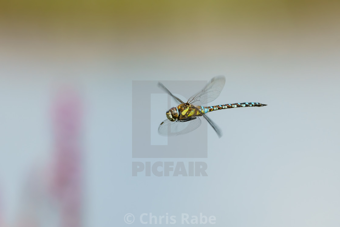 """A colourful Migrant hawker (Aeshna mixta) in flight, taken in London, UK"" stock image"