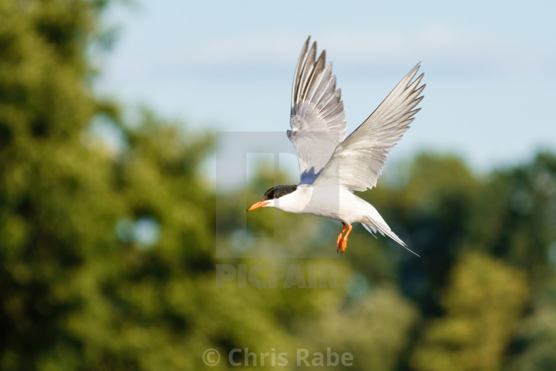 """Common Tern (Sterna hirundo) in flight with wings pointed up, taken in..."" stock image"