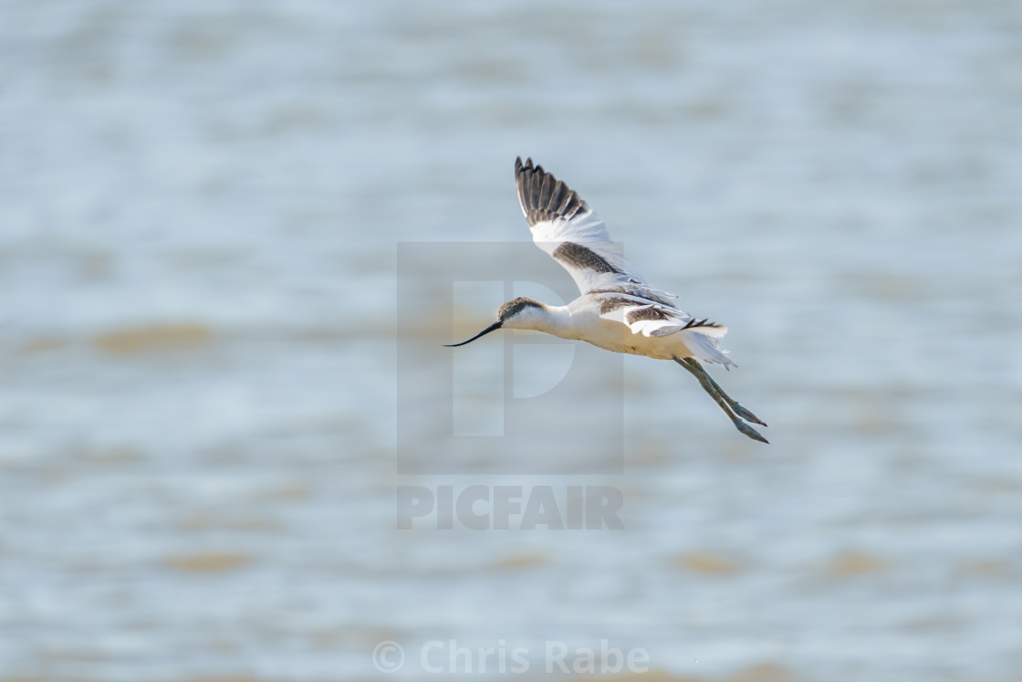 """Pied Avocet (Recurvirostra avosetta) in flight, taken in the UK"" stock image"