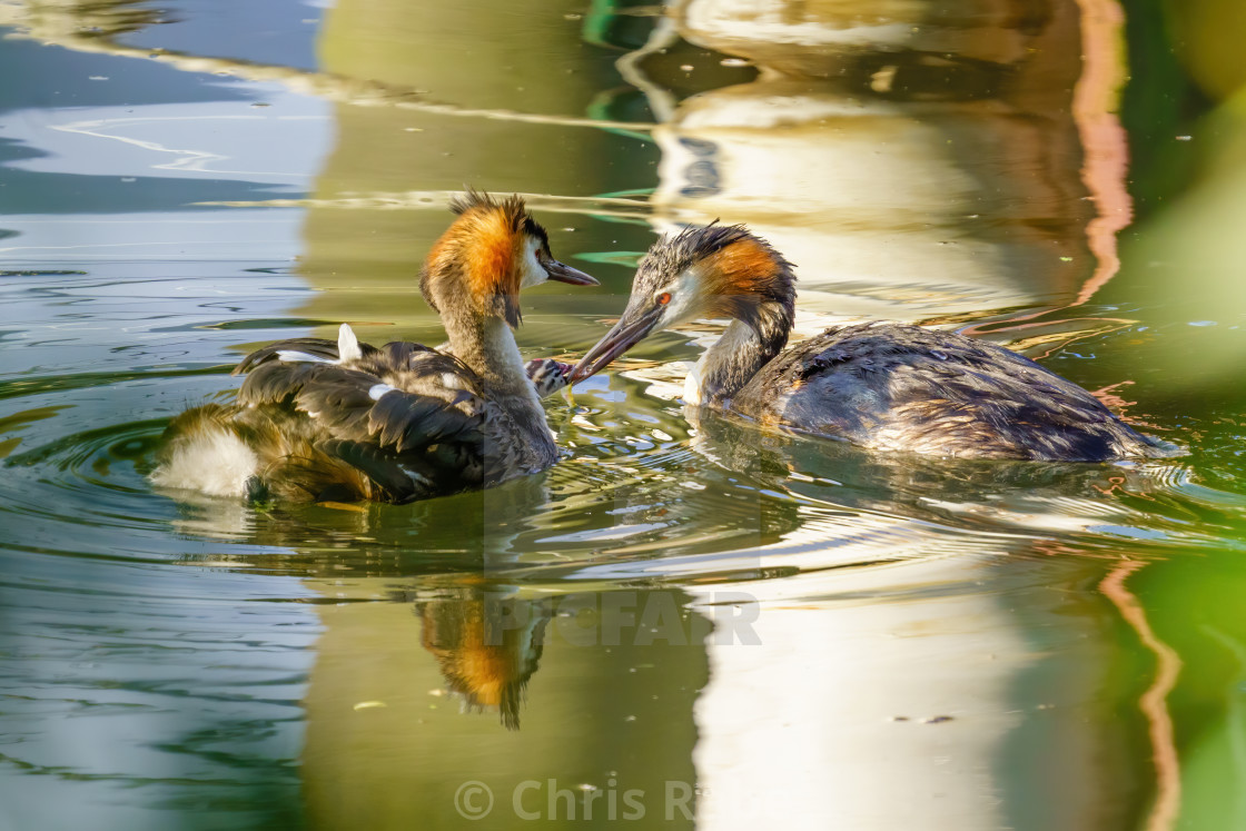 """Great Crested Grebe (Podiceps cristatus) chick riding one parent while being..."" stock image"