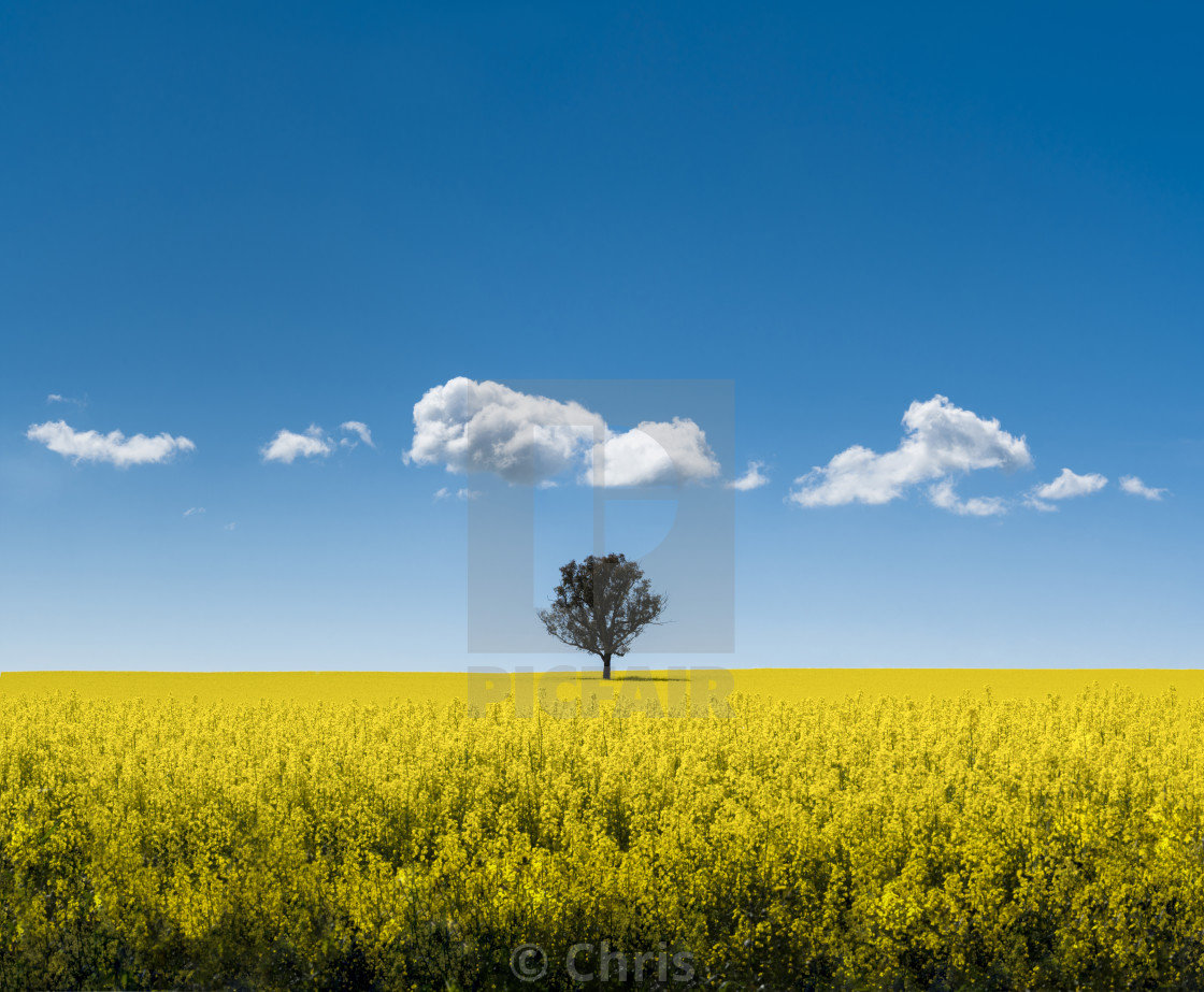 """""""Canola field with tree"""" stock image"""