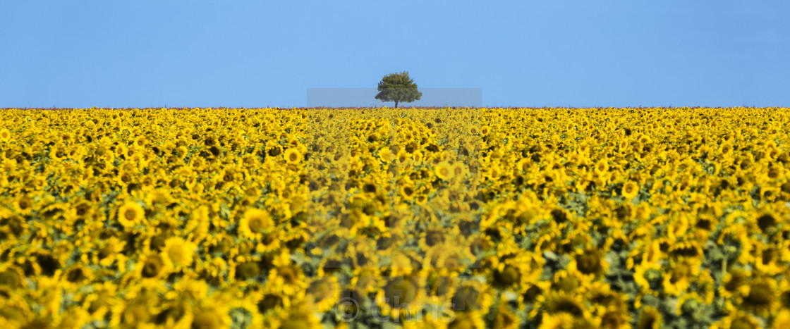 """""""Sunflower field with a tree"""" stock image"""