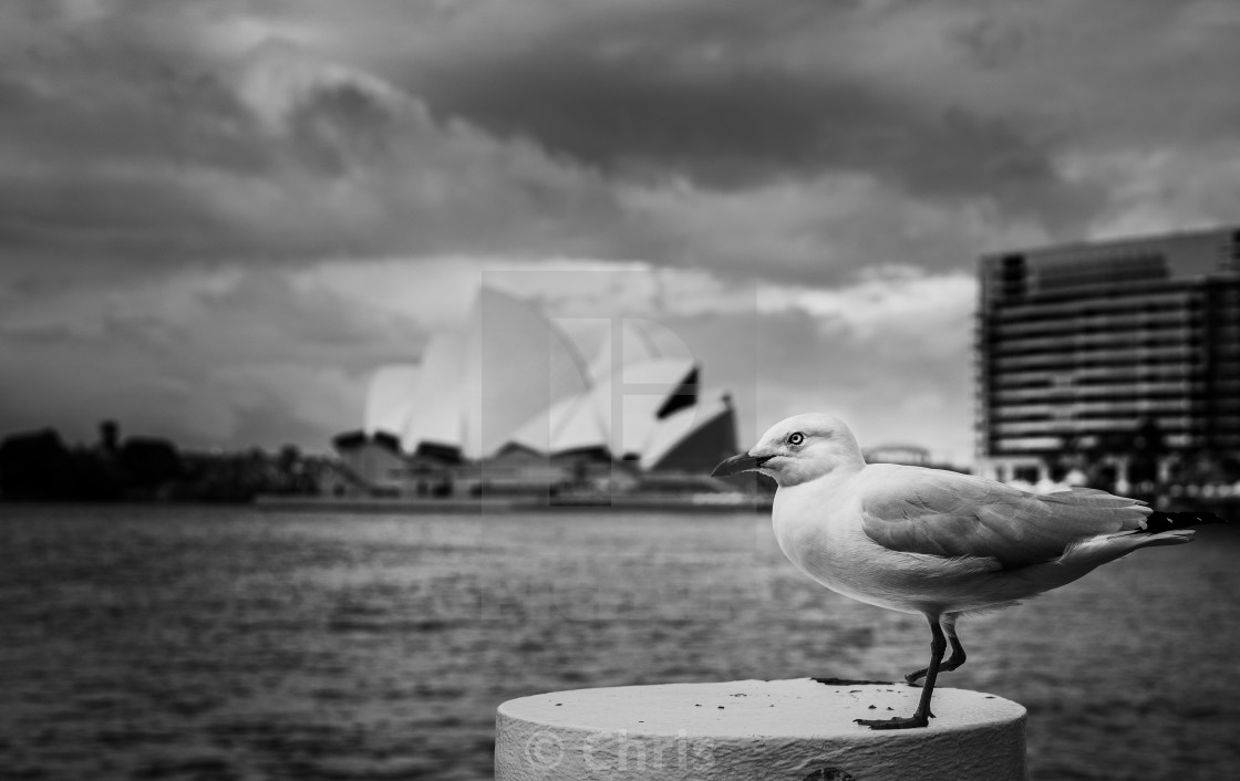 """""""Seagull with Opera house"""" stock image"""