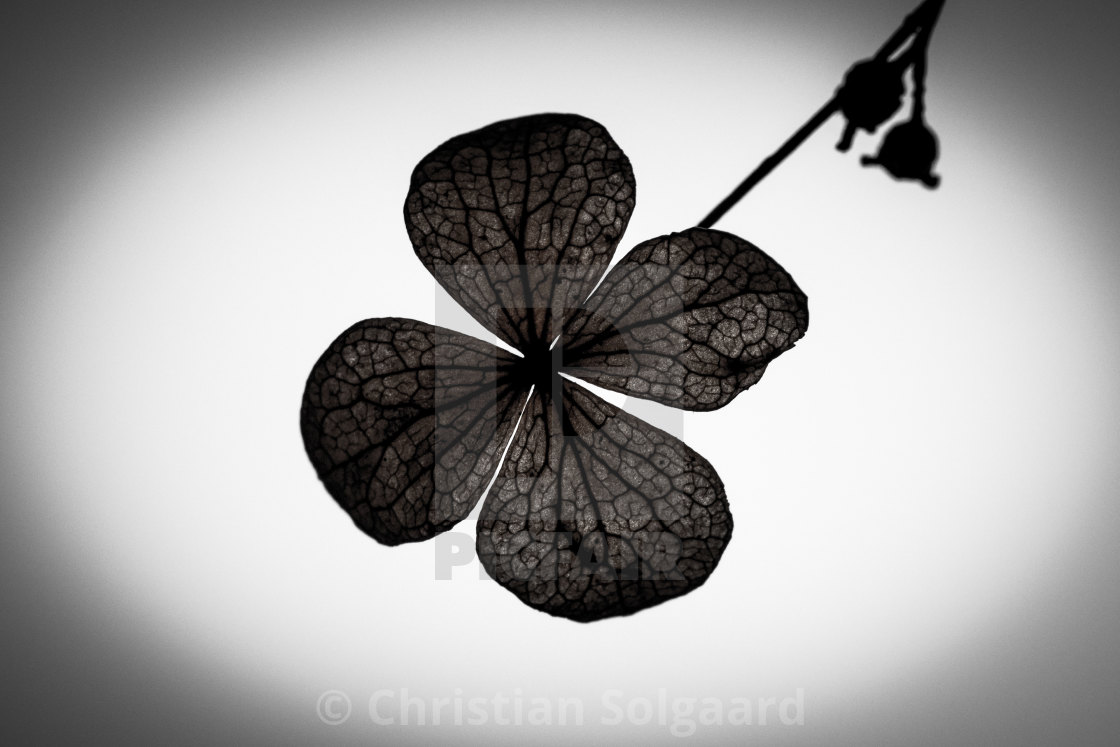 """""""Clover"""" stock image"""