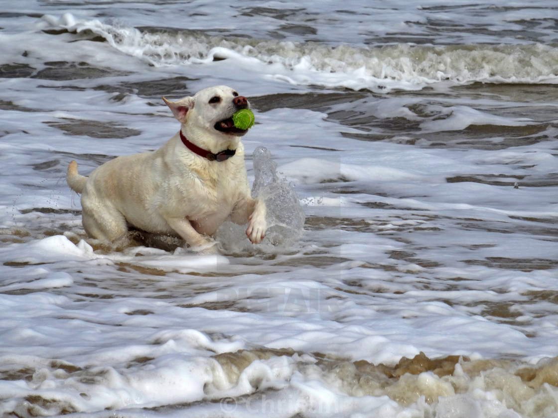 """Labrador playing in the sea."" stock image"