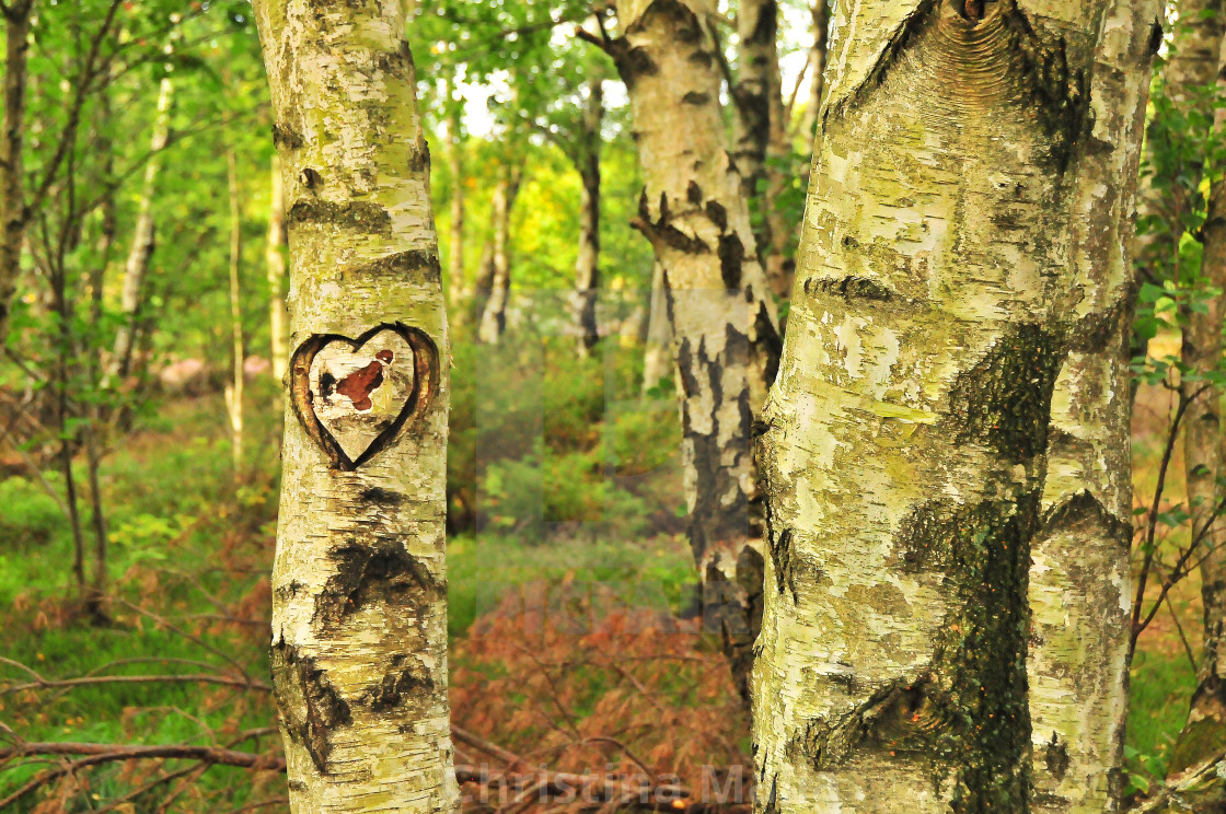 """""""A heart carved into a tree in a Skagerak forest"""" stock image"""